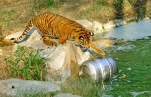 Tiger with beer keg in water 2