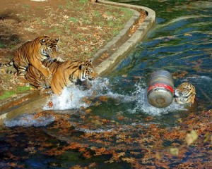 Tiger with beer keg in water