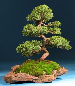 bonsai tree on rock