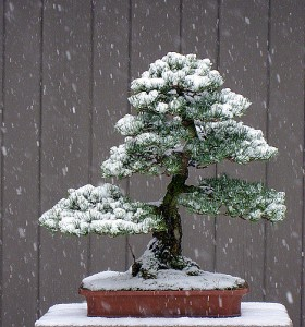 bonsai tree snow