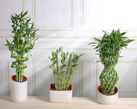 how to make lucky bamboo grow taller