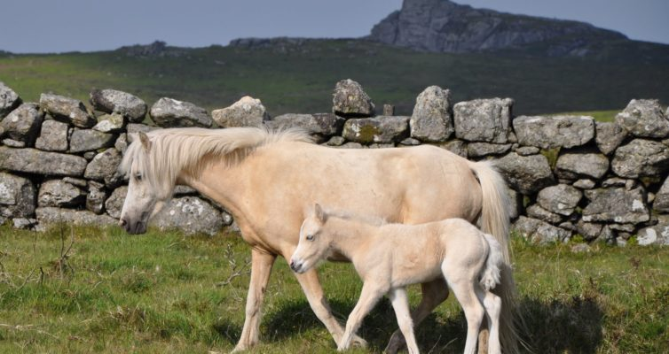 cream colored ponies stone wall swezey