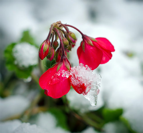 silver white winters red flowers